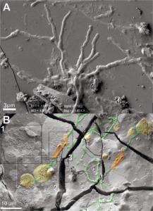 Ζωντανοί νευρώνες Βεζούβιος